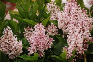 ©Marie Stephens Design 2014  This is a Korean Lilac from my garden in Iowa last spring.